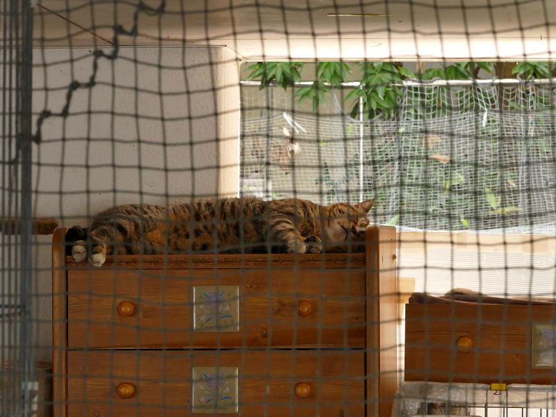 箪笥の上で寝ているキジトラ猫