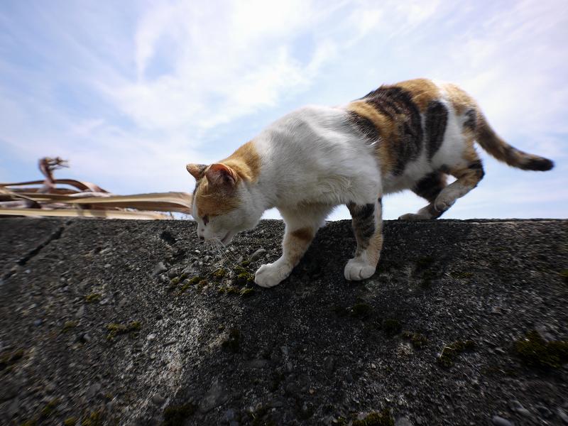 防波堤を降りる白三毛猫1