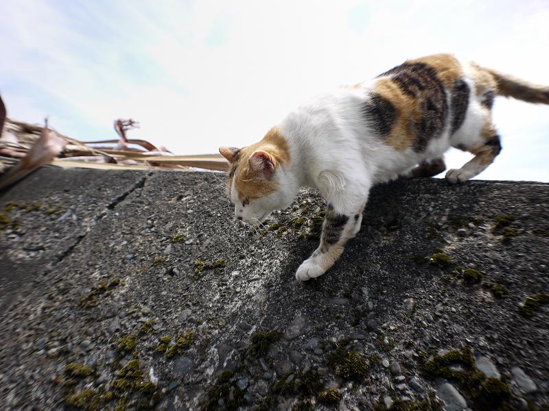 防波堤を降りる白三毛猫2