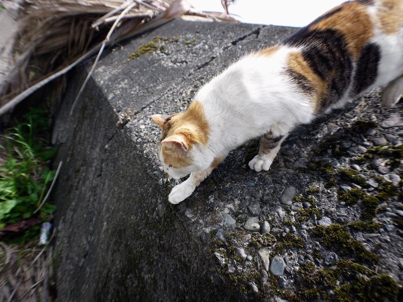 防波堤を降りる白三毛猫4