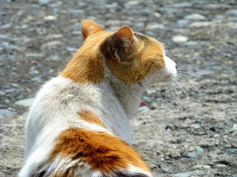 白三毛猫のアクビする後ろ姿