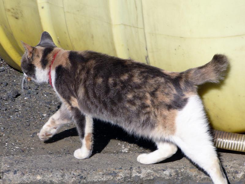 石垣とキジ白猫3