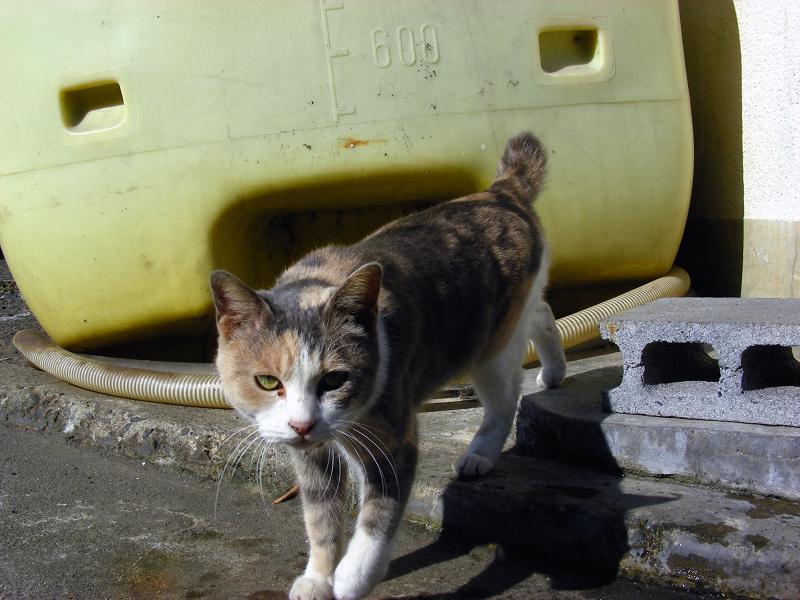 石垣とキジ白猫4