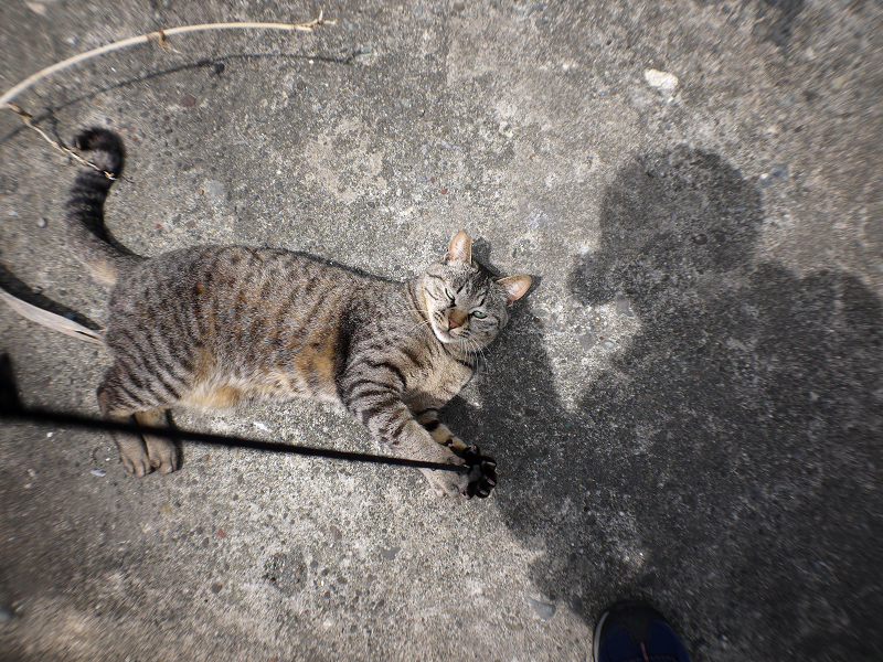 ゴム紐とキジトラ猫2