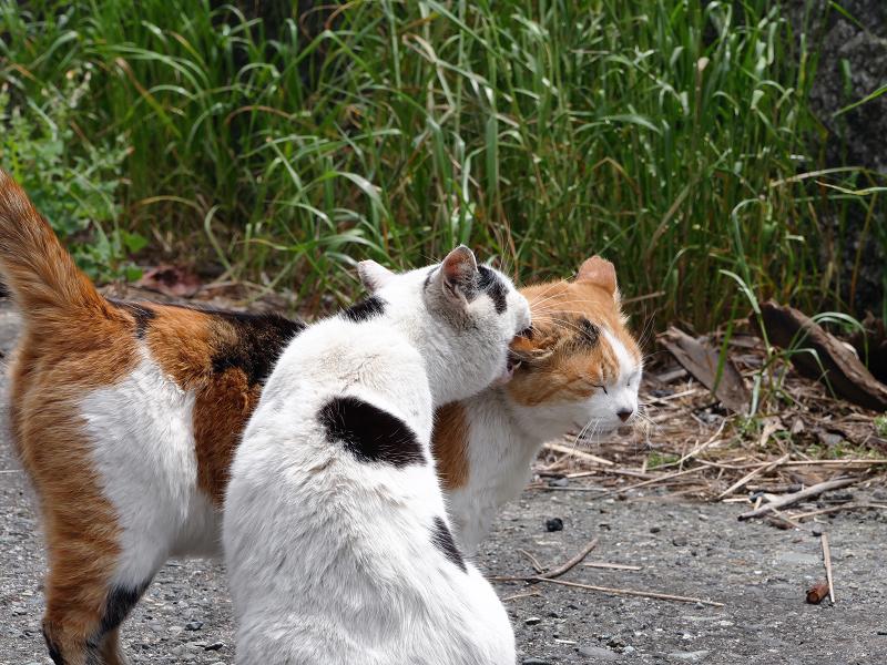 仲良しな白三毛猫と白黒猫2