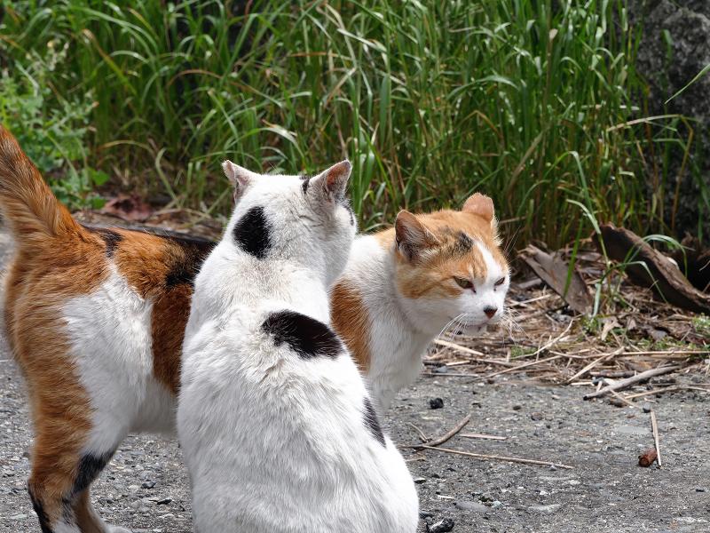 仲良しな白三毛猫と白黒猫3