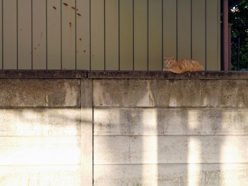 夕陽ブロック塀と茶トラ猫