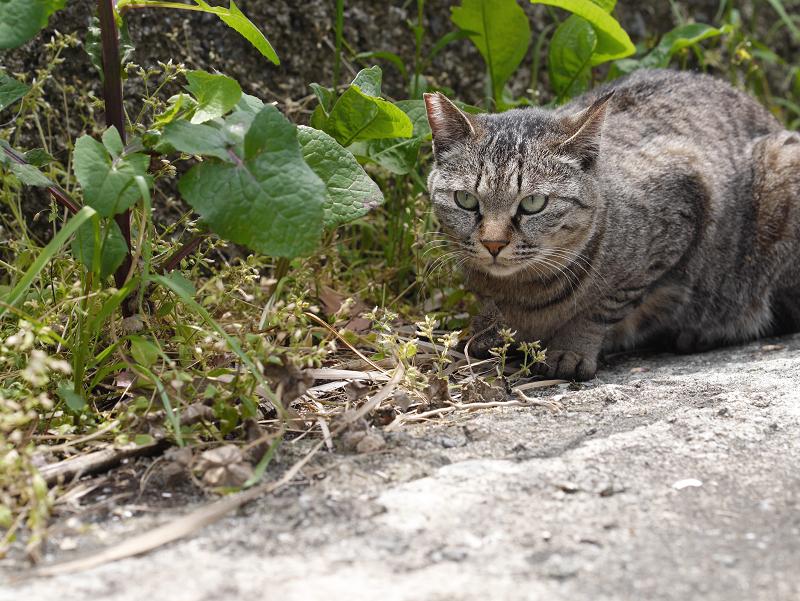 茂みにキジトラ猫