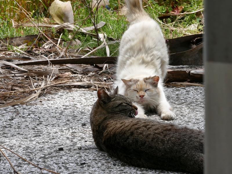 毛長猫とキジトラ猫