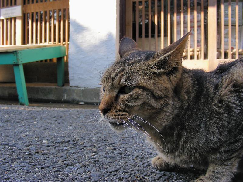 お店前のキジトラ猫1