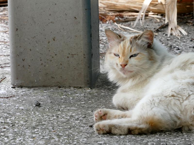 リラックスしてる毛長猫1