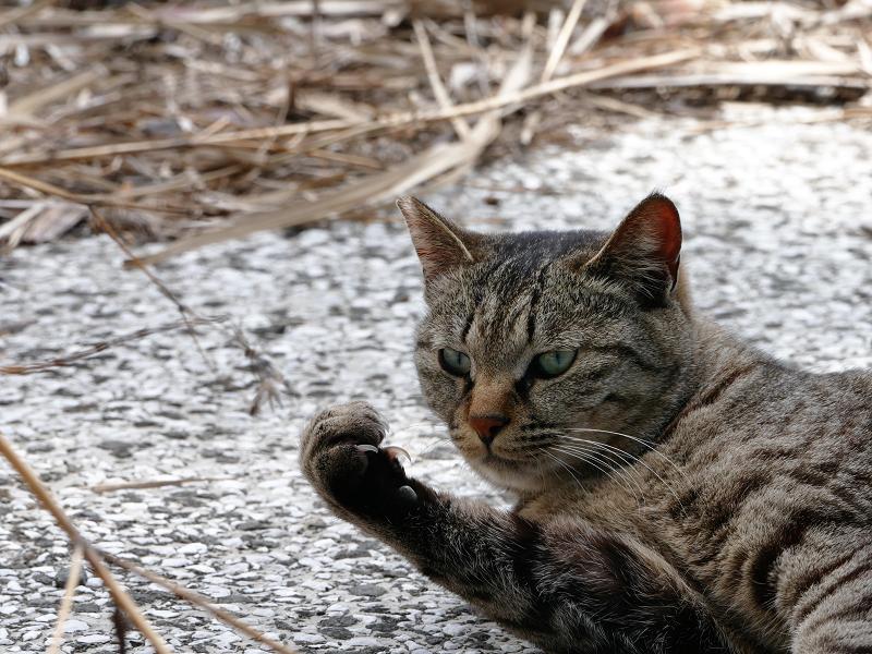 右拳を握ってるキジトラ猫1
