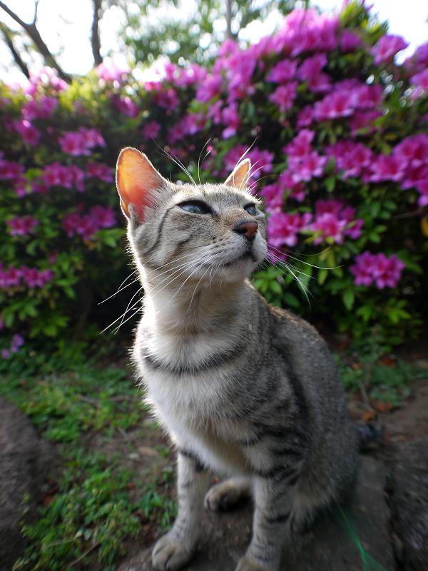 皐月とキジトラ猫1