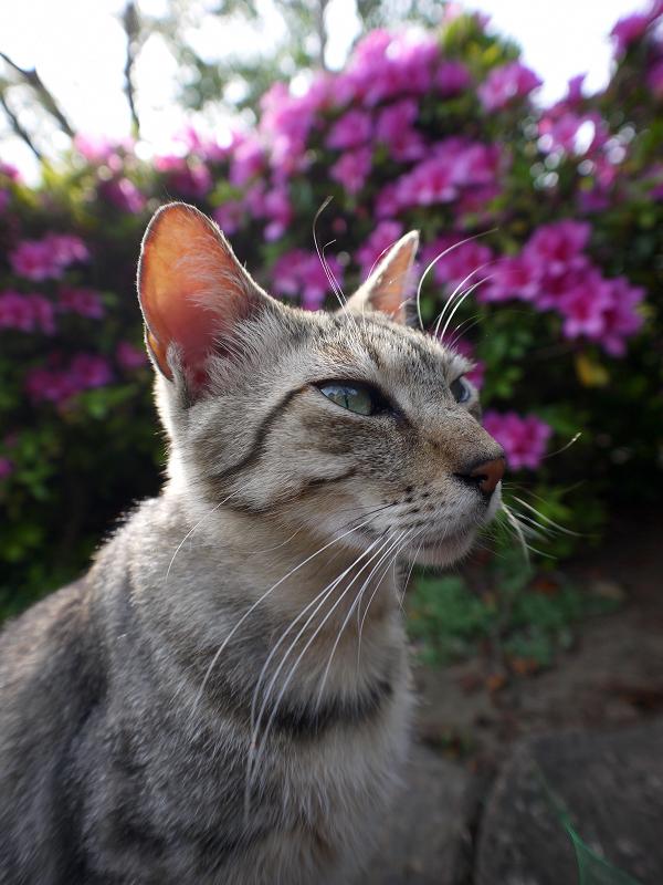 皐月とキジトラ猫2