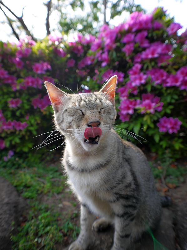皐月とキジトラ猫3