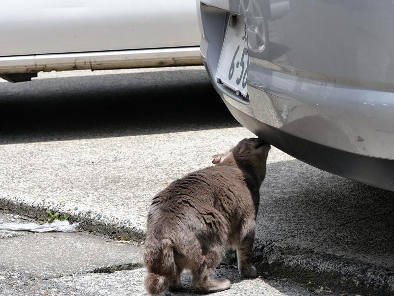 車のニオイを嗅いでいるキジトラ猫は1