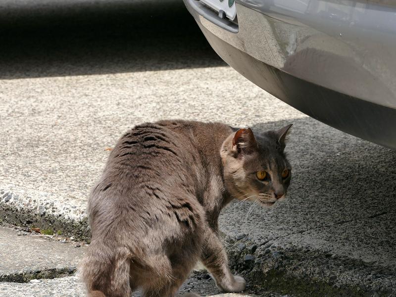車のニオイを嗅いでいるキジトラ猫は2