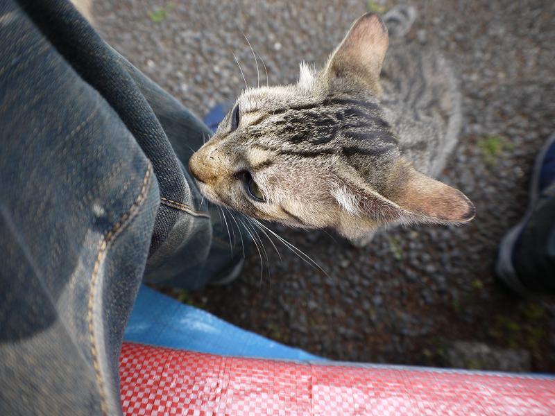 足のニオイを嗅いでいるキジトラ猫1
