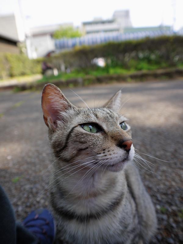足のニオイを嗅いでいるキジトラ猫2