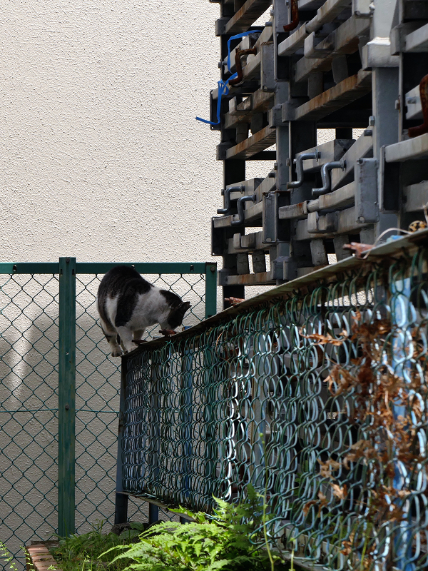 金網フェンスと黒白猫1