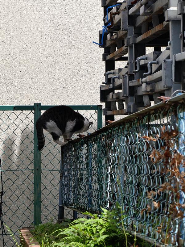 金網フェンスと黒白猫2