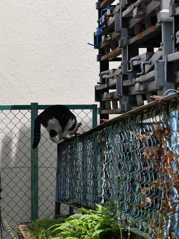 金網フェンスと黒白猫3