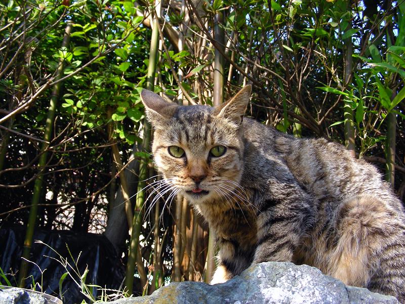 植込みとキジトラ猫1