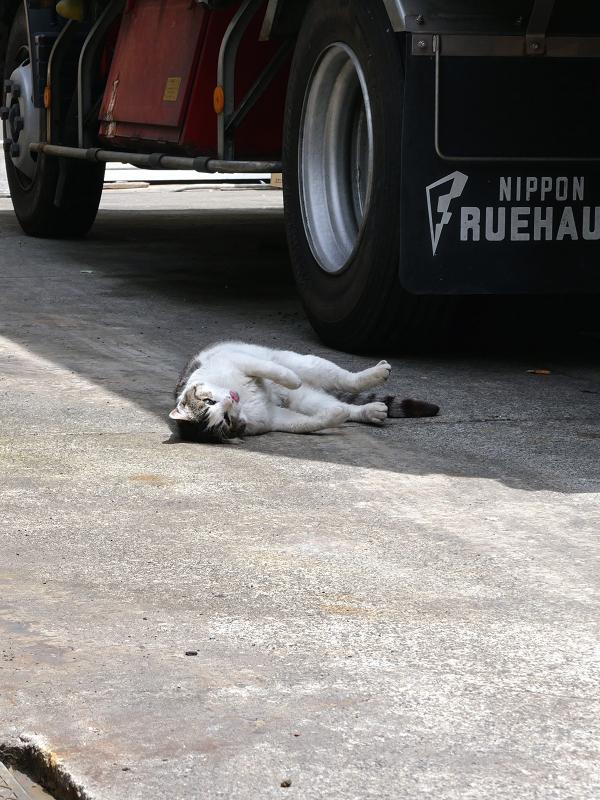 大型トラックと白キジ猫1