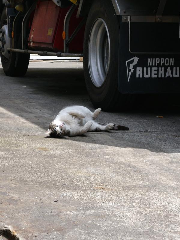 大型トラックと白キジ猫2
