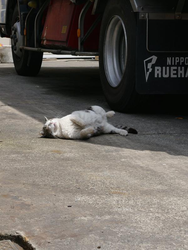 大型トラックと白キジ猫3