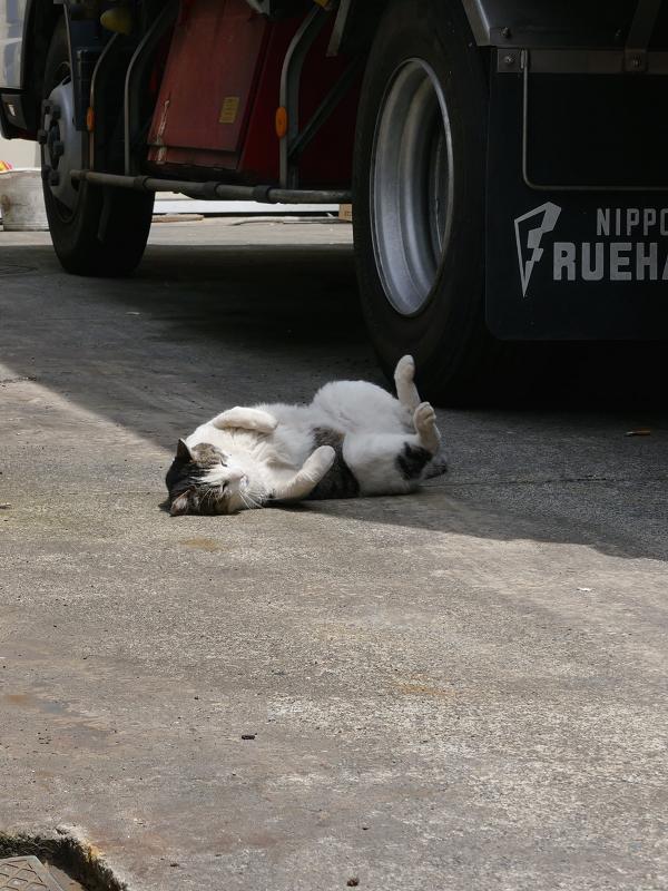 大型トラックと白キジ猫4