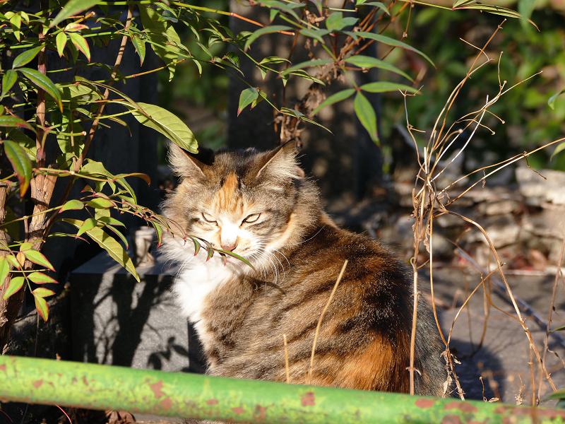 神社の猫1