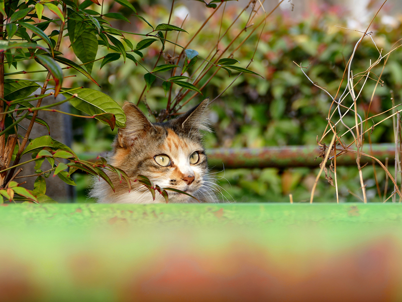 神社の猫4