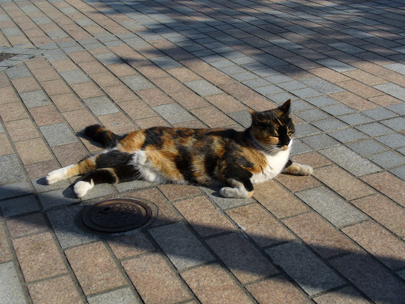 タイルに腹ばう三毛猫1