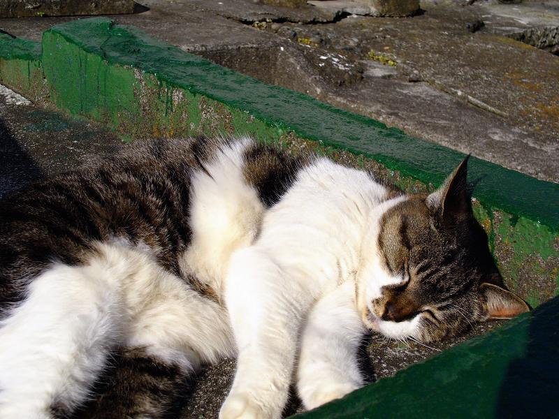 漁港のキジ白猫2