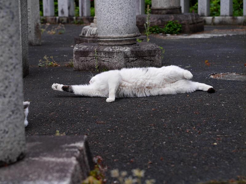 玉垣内で伸びをしている白キジ猫1