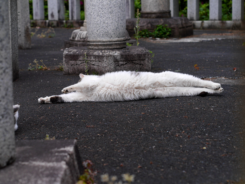 玉垣内で伸びをしている白キジ猫2