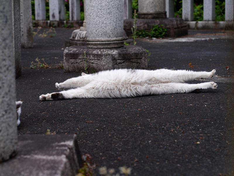 玉垣内で伸びをしている白キジ猫3