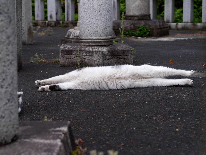 玉垣内で伸びをしている白キジ猫4