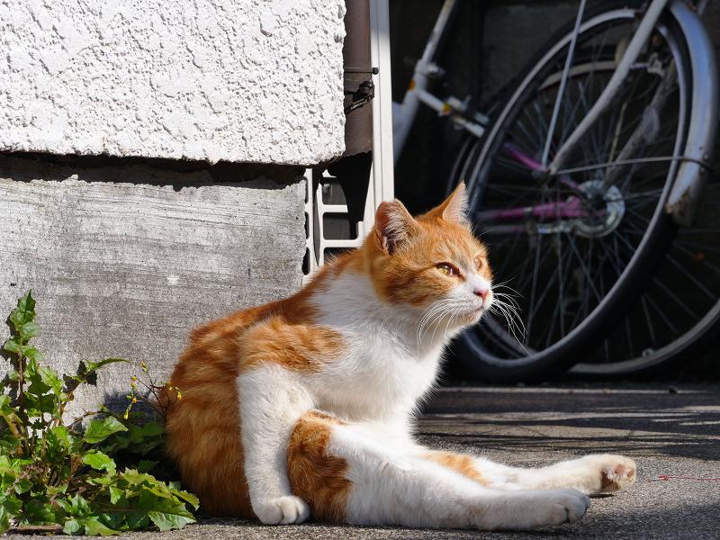 ペタンと座っている茶白猫1