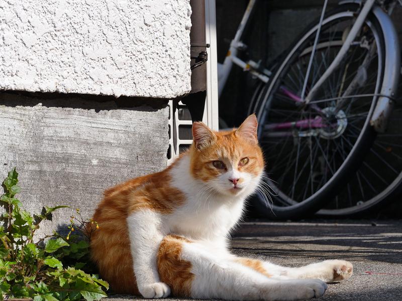 ペタンと座っている茶白猫2