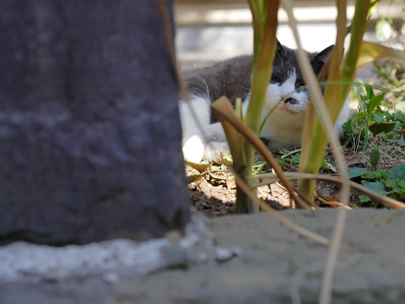 石碑の脇のグレー白猫1