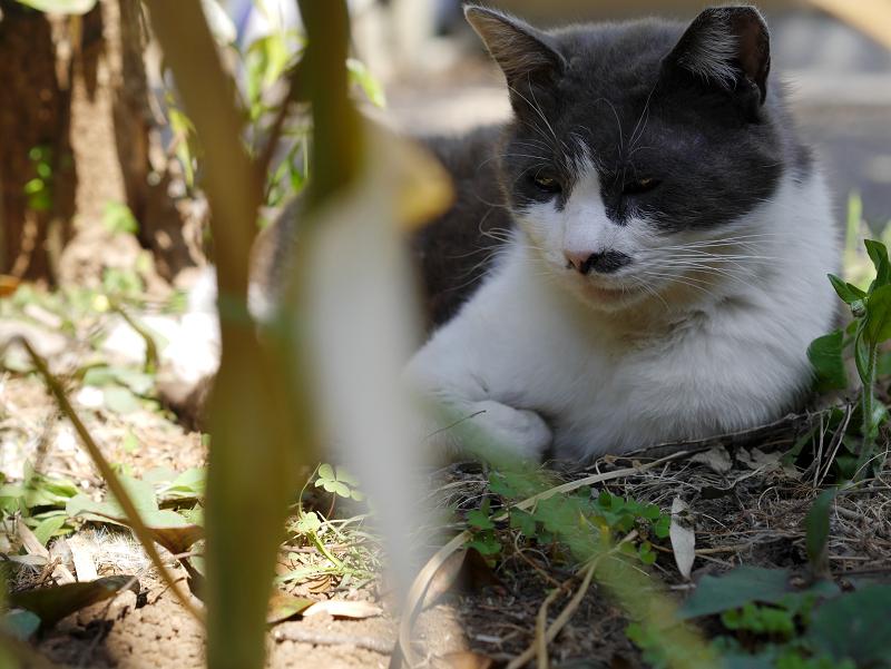 石碑の脇のグレー白猫2