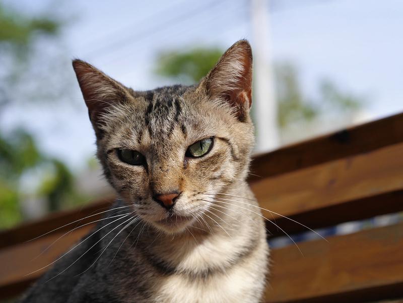 ベンチでベロ出しキジトラ猫2