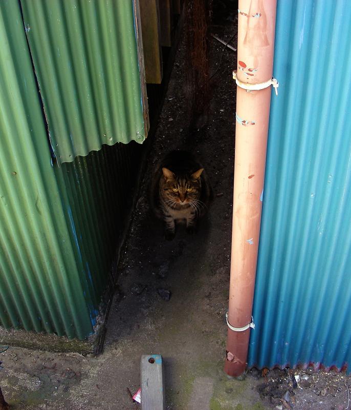 トタンとキジトラ猫1