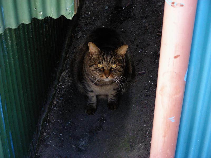 トタンとキジトラ猫2