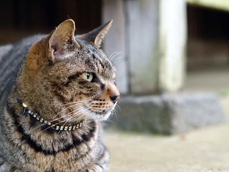 お堂前のキジトラ猫