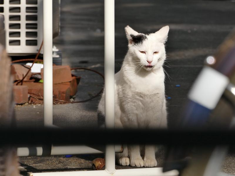 アパート敷地内の白黒猫2
