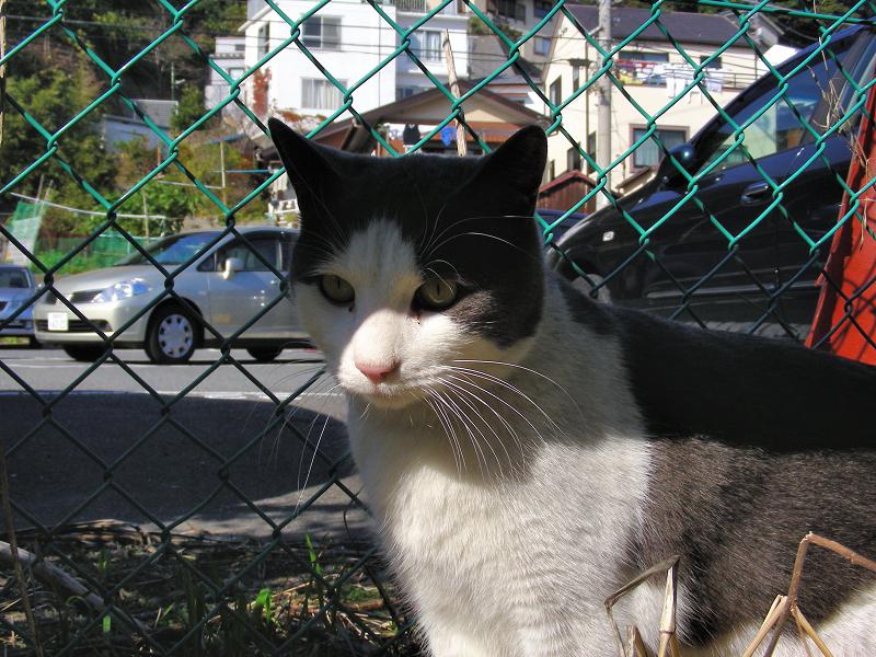 青空と金網フェンスと白黒猫1