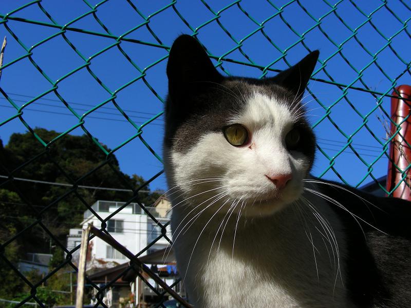 青空と金網フェンスと白黒猫2